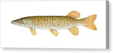 Muskie Canvas Print by Carlyn Iverson