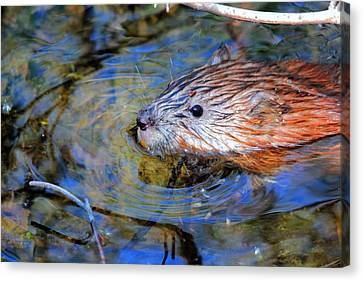 Muskrat Canvas Print by Larry Trupp