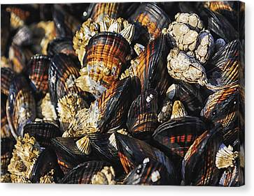 Mussels And Barnacles Canvas Print