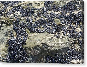 Mussels On Rocks At Porth Joke Canvas Print by Ashley Cooper