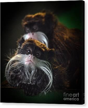 Mustached Monkeys Emperor Tamarins  Canvas Print by Jim Fitzpatrick