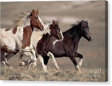 Mustang Bachelor Stallions Canvas Print