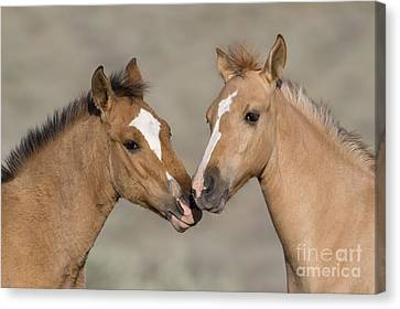 Mustang Foals Canvas Print by JeanLouis Klein and MarieLuce Hubert