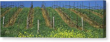 Vineyard In Napa Canvas Print - Mustard And Vine Crop In The Vineyard by Panoramic Images