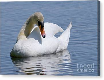 Mute Swan 1 Canvas Print by Sharon Talson