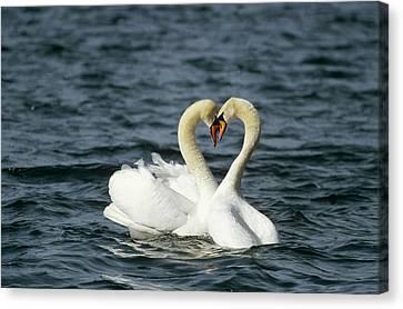 Mute Swan Affectionate Pair Canvas Print