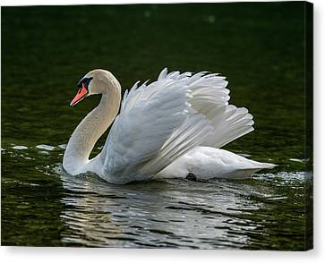 Mute Swan Cygnus Olor Displaying Canvas Print