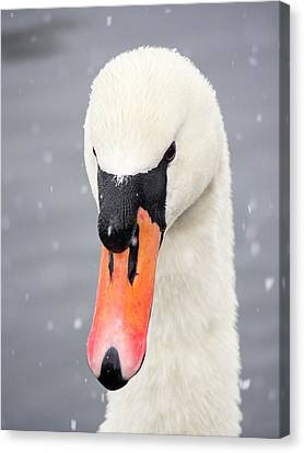 Mute Swan (cygnus Olor) In The Snow Canvas Print by Ashley Cooper