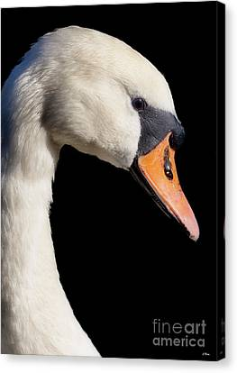 Mute Swan Canvas Print by Wobblymol Davis