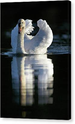 Mute Swan On Water Canvas Print by Simon Booth