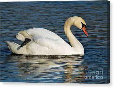 Canvas Print featuring the photograph Mute Swan Resting by Olivia Hardwicke