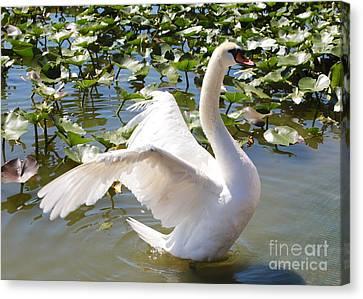 Mute Swan Wings Canvas Print