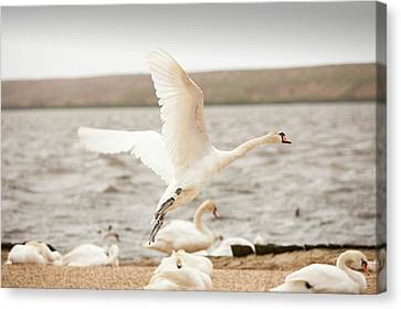Mute Swans At The Abbotsbury Swannery Canvas Print by Ashley Cooper
