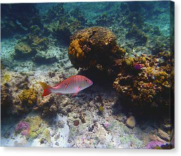 Mutton Snapper Canvas Print by Carey Chen