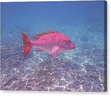 Mutton Snapper Profile Canvas Print by Carey Chen