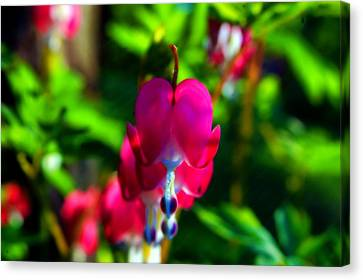 Canvas Print featuring the photograph My Bleeding Heart by Peggy Franz