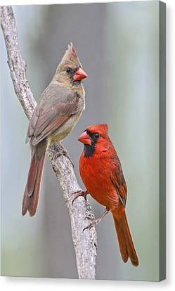 My Cardinal Neighbors Canvas Print