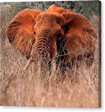 My Elephant In Africa Canvas Print by Phyllis Kaltenbach