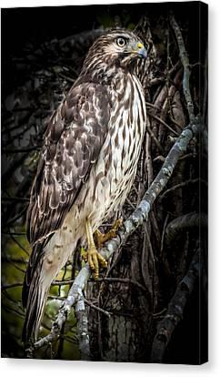 My Hawk Encounter Canvas Print