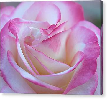 My Heart In A Rose Canvas Print by The Art Of Marilyn Ridoutt-Greene