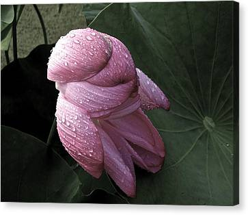 My Lotus My Love Canvas Print