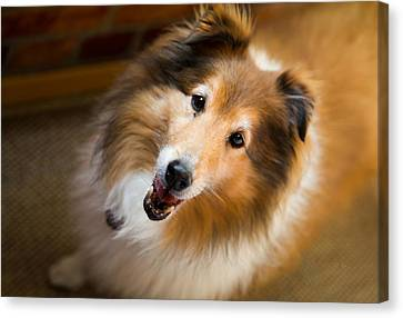 My Name Is Not Lassi I Am A Shetland Sheepdog Canvas Print by Eti Reid