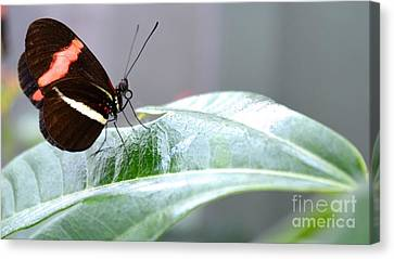 Canvas Print featuring the photograph My Pretty Butterfly by Carla Carson