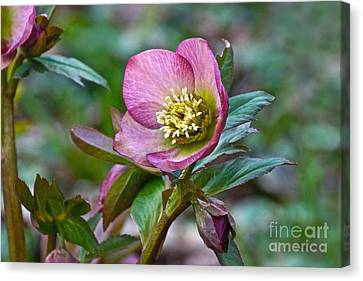 My Wild Xmas Rose Canvas Print by Byron Varvarigos