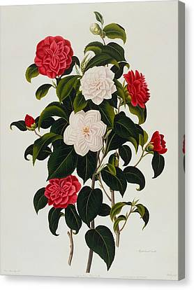 Myrtle Leaved Camellia Canvas Print by Clara Maria Pope