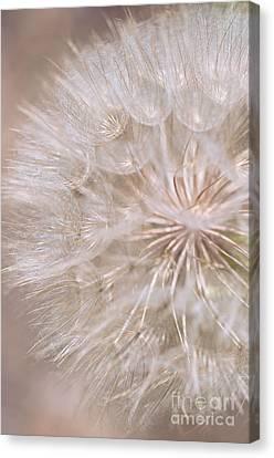 Goatsbeard - Fairy Parachute  Canvas Print