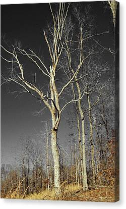 Naked Branches Canvas Print by Linda Segerson