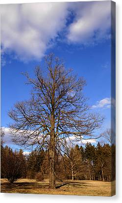 Naked Oak In Early Spring Canvas Print