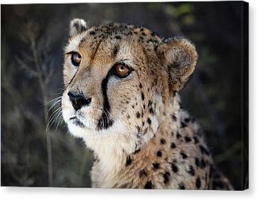 Namibia Close-up Of A Cheetah Canvas Print by Janet Muir