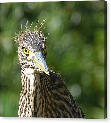 Nankeen Night Heron Junior Canvas Print by Margaret Saheed
