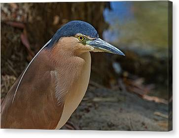 Nankeen Or Rufous Night Heron Canvas Print by Mr Bennett Kent