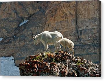 Ledge Canvas Print - Nanny Mountain Goat And Kid, Oreamnos by Howie Garber