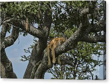 Nap Time On The Serengeti Canvas Print by Sandra Bronstein