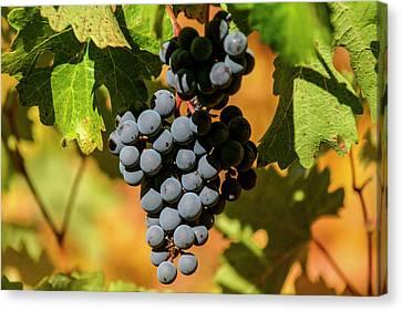 Concord Grapes Canvas Print - Napa, California by Jolly Sienda