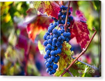 Bunch Of Grapes Canvas Print - Bounty Of Napa Valley II by George Oze