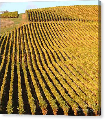Napa Valley Vineyard 7d9062 Square Canvas Print by Wingsdomain Art and Photography