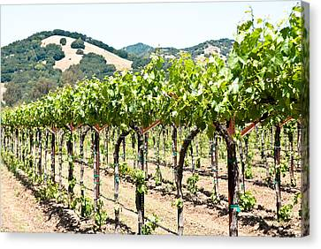 Napa Vineyard Grapes Canvas Print by Shane Kelly