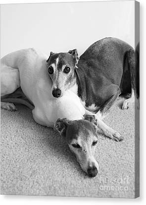 Napping Greyhounds Canvas Print by Kate Sumners