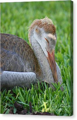 Napping Sandhill Baby Canvas Print by Carol Groenen