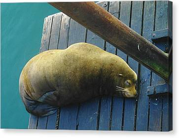 Napping Sea Lion Canvas Print by Jeff Swan