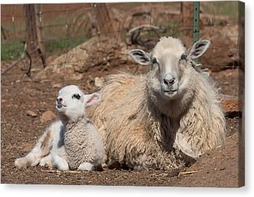Kathleen Canvas Print - Napping Sheep by Kathleen Bishop