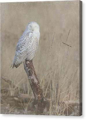 Napping Snowy Owl Canvas Print by Angie Vogel