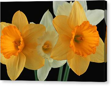 Narcissus 2 Canvas Print by Mark Ashkenazi