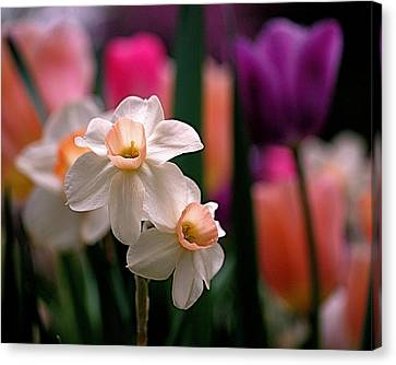 Narcissus And Tulips Canvas Print by Rona Black