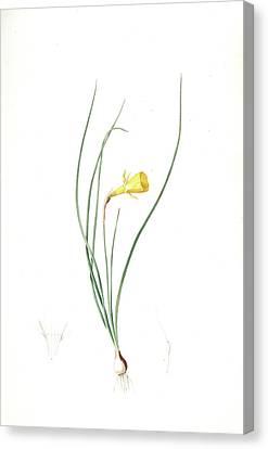 Narcissus Bulbocodium, Narcissus Bulbocode Hoop Petticoat Canvas Print by Artokoloro