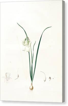 Narcissus Calathinus, Narcissus Triandrus Narcisse à Canvas Print by Artokoloro